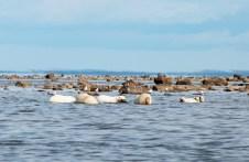 Polar bears lunching on beluga whale at Seal River Heritage Lodge.