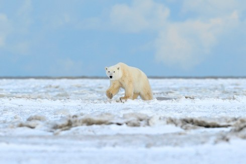 polar-bear-ice-churchill-wild-nanuk-polar-bear-lodge-ian-johnson