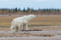polar-bear-mom-cub-churchill-wild-nanuk-polar-bear-lodge-dennis-fast