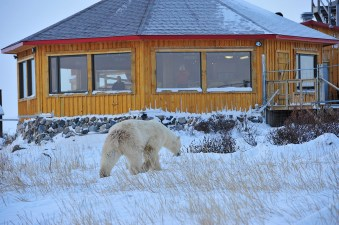 Bear approaching lodge in the snow at Seal River. Ian Johnson photo.