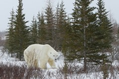 polar-bear-trees-churchill-wild-nanuk-polar-bear-lodge-soren-hansen
