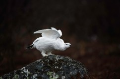 Ptarmigan at Seal River Heritage Lodge. Linda Hammond photo.