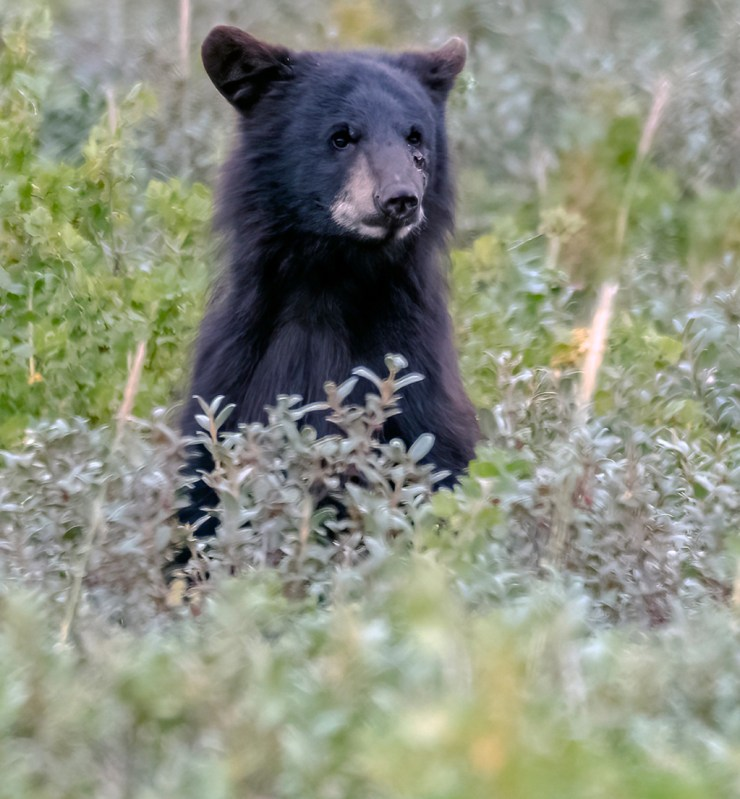 Curious black bear cub at Nanuk Polar Bear Lodge. Photo courtesy of An Xiao.