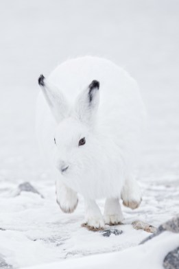 Arctic hare on a roll at Seal River Heritage Lodge. Charles Glatzer photo.