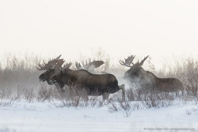 Moose meeting. Nanuk Polar Bear Lodge. Charles Glatzer photo.