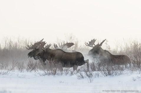 Moose meeting. Nanuk Polar Bear Lodge. Charles Glatzer photo.