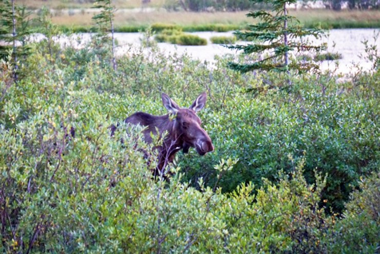 Moose sneaking up on us at Nanuk.