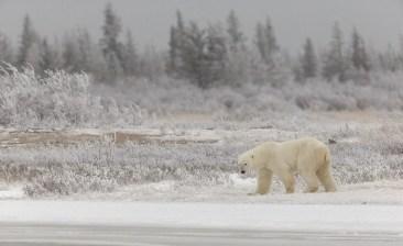 polar-bear-walking-in-snow-nanuk-polar-bear-lodge-charles-glatzer