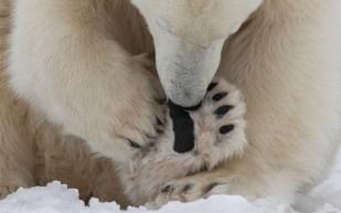 polarbearfootinsepctionssealriverheritagelodgecharlesglatzer