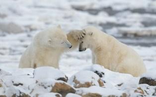 polarbearfriendschurchillwildcharlesglatzer
