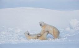 polarbearsplayingsealrivercharlesgaltzer