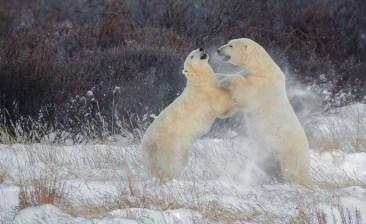 polarbearssparringnanukpolarbearlodgecharlesglatzer