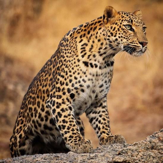 leopardessjawaianjalisingh