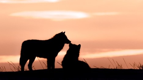 romantic-wolves-silouette-sunset-nanuk-polar-bear-lodge-jad-davenport - Copy