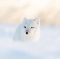 Cool Arctic fox. Seal River Heritage Lodge. George Turner photo.