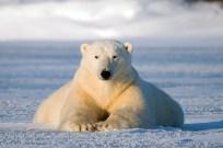 Buddha bear. Nanuk Polar Bear Lodge. Robert Postma photo.