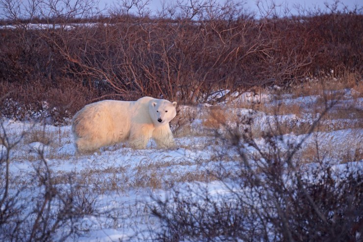 Dawn polar bear at Seal River Heritage Lodge. Vanessa Desorcy photo.