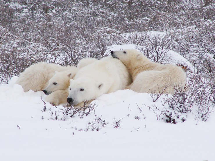 Mom and cubs. Dymond Lake Ecolodge. Great Ice Bear Adventure. Graham Copping photo.