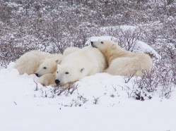 polar-bear-churchill-wild-dymond-lake-ecolodge-graham-copping