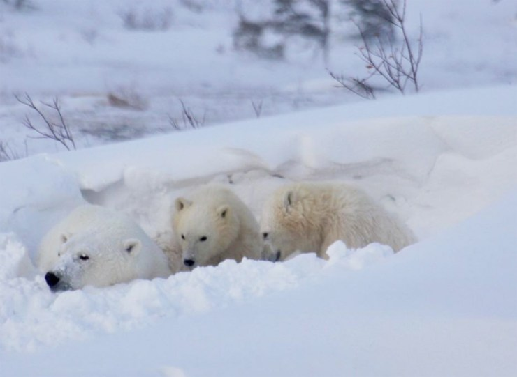 Mom and cubs on the Great Ice Bear Adventure at Dymond Lake Ecolodge. Eduard Planting photo.