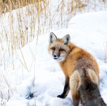 Red fox posing at Seal River Heritage Lodge. Chase Teron photo.