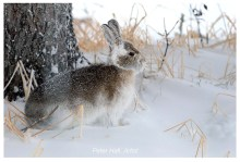 Snowshoe hare. Nanuk Polar Bear Lodge. Peter Hall photo.