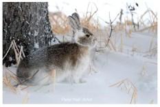 Snowshoe hare. Nanuk Polar Bear Lodge. Peter Hall photo.