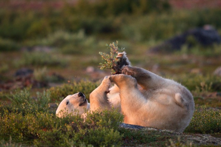 Polar bear playing with willow branch at Seal River Heritage Lodge. Jad Davenport photo.
