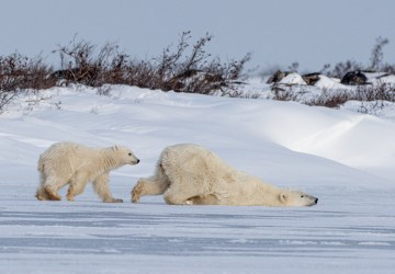 Polar bears cooling off at Seal River Heritage Lodge.