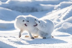 Arctic fox fight at Seal River.