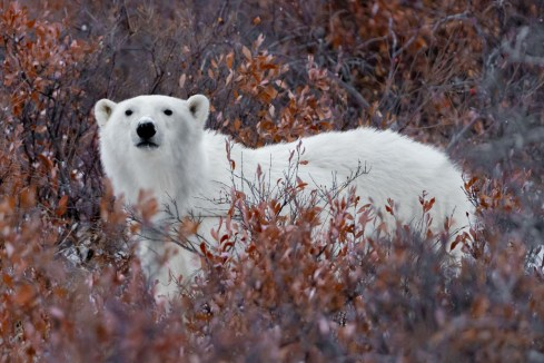 Polar bear in fall colours. Nanuk Polar Bear Lodge.