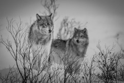 Wolves at Nanuk Polr Bear Lodge.