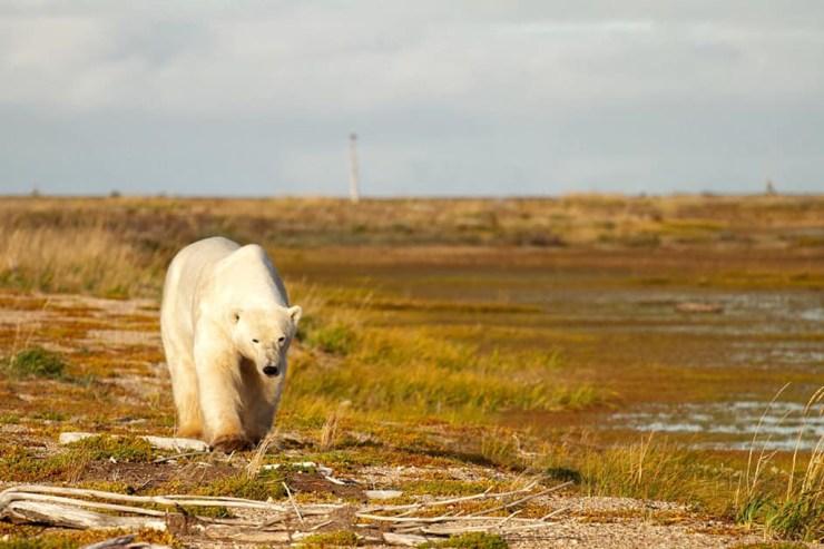 Polar bear walks along a beach ridge at Nanuk Polar Bear Lodge. Jenn Smith Nelson photo.