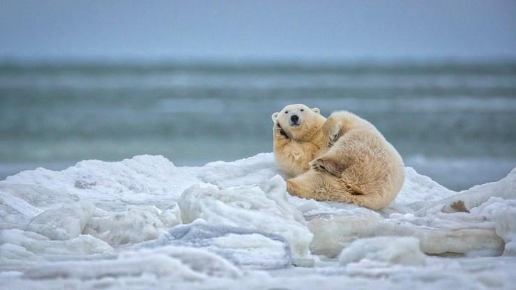 Polar bear making a phone call at Seal River Heritage Lodge. Scott Dere photo.