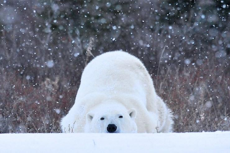 Monday mood. Polar bear t Seal River Heritage Lodge. Ian Johnson.