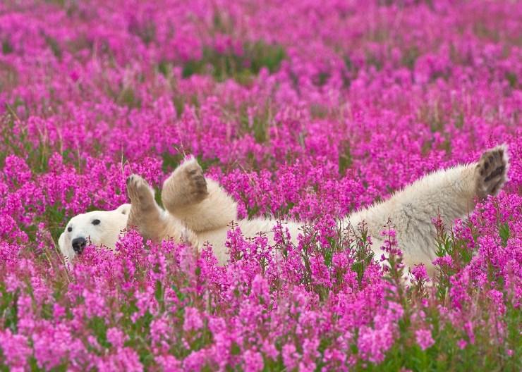 Polar bear in fireweed. Dennis Fast photo.