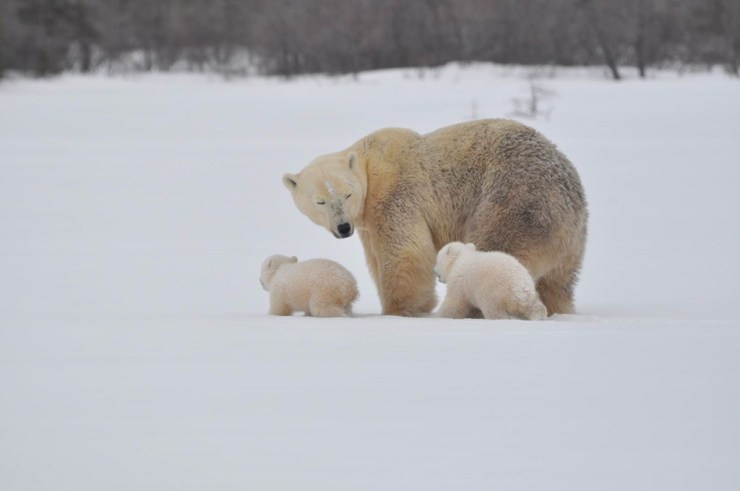 Mom tending to her cubs at Nanuk Polar Bear Lodge. Albert Saunders photo.