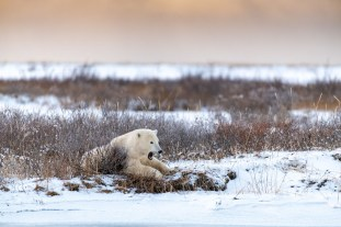Honourable Mention - Polar Bears - Churchill Wild 2019 Guest Photo Contest - Mark Hunter - Polar Bear Photo Safari - Nanuk Polar Bear Lodge