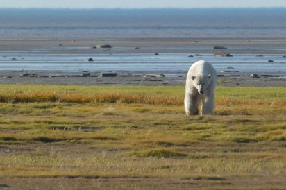 3rd Place - Amateur - Churchill Wild 2019 Guest Photo Contest - Stacy Heilgeist - Hudson Bay Odyssey - Nanuk Polar Bear Lodge