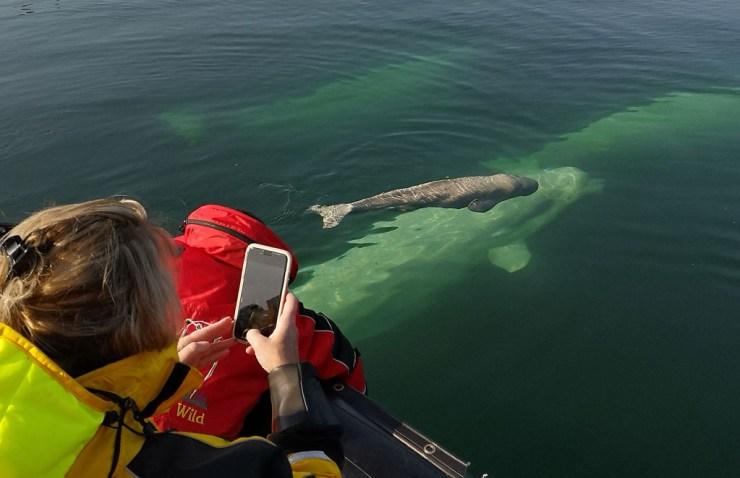 Newborn beluga whale learning to swim at Seal River Heritage Lodge. Boomer Jerritt photo.