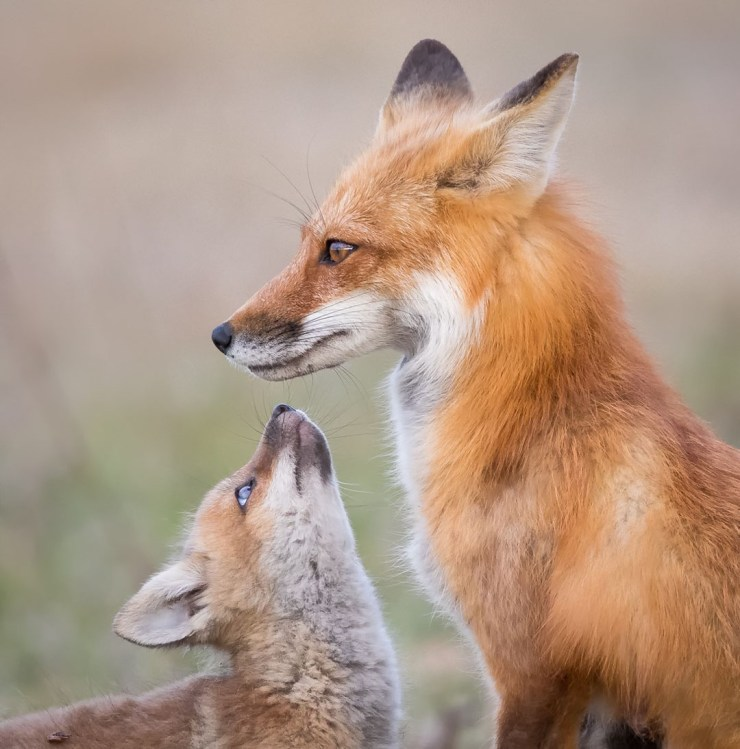 Tender moment for red foxes at Friday Harbor. Missy Mandel photo.