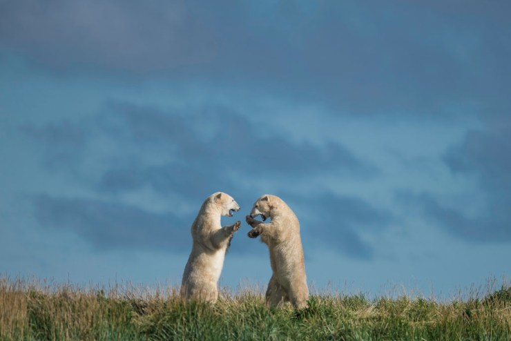 Summer polar bears sparring at Seal River Heritage Lodge. Jad Davenport photo.
