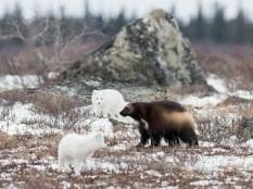 Wolverine vs Arctic foxes. Nanuk Polar Bear Lodge. Andrew Pugh photo.