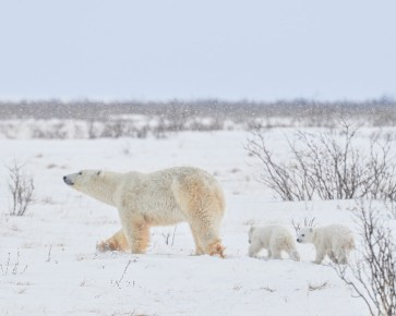 Mom and cubs heading for Hudson Bay at Nanuk Polar Bear Lodge. Albert Saunders photo.