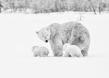 Polar bear mom and cubs in the snow at Nanuk Polar Bear Lodge. Albert Saunders photo.