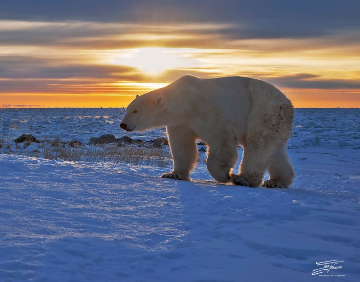 Polar bear at sunrise. Seal River Heritage Lodge. Ian Johnson photo