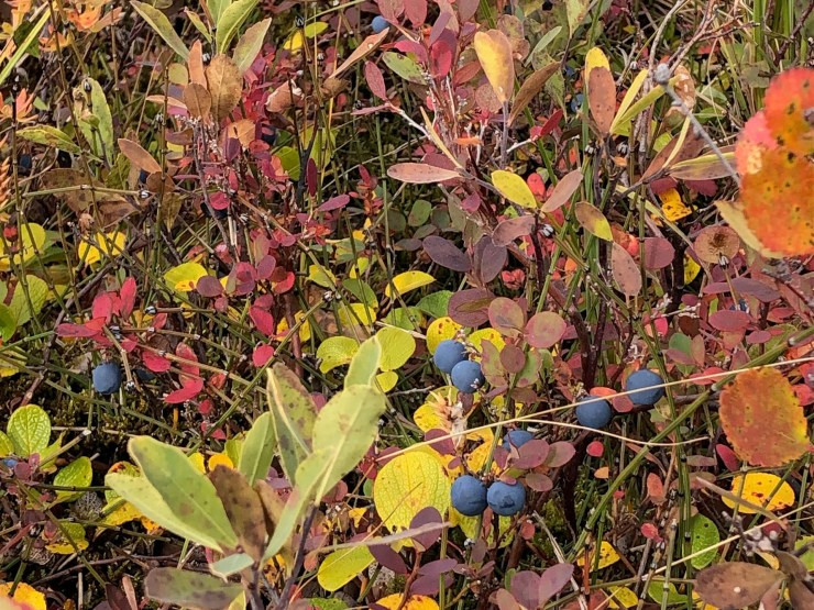 Blueberries at Nanuk. And look at those surrounding colours!