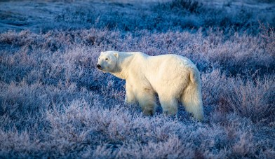 Polar bear in blue. Nanuk Polar Bear Lodge. Rob Julien photo.