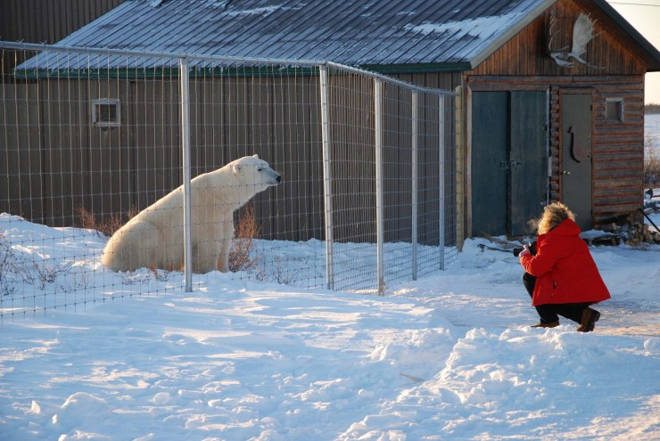 Visit with a polar bear. Dymond Lake Ecolodge. Debra Lynn Hartsell photo.