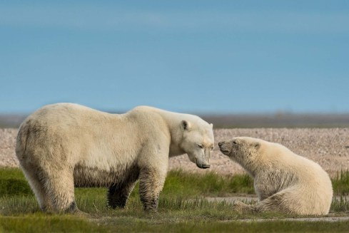 Tender moment at Nanuk Polar Bear Lodge. Christie Allen photo.